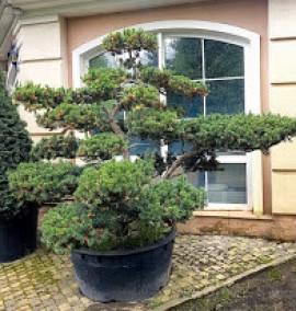 Тис остроконечный Taxus cupsidata Bonsai C450L h2м
