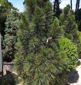 Сосна черная Фастигиата Pinus Nigra Fastigiata C90L h150-170