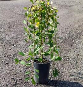 Ива козья Килмарнок Salix caprea Kilmarnock с 3l H-40