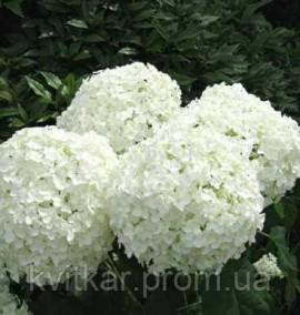 Гортензия древовидная Анабель Hydrangea arborescens Annabelle с 2 l H 25-30