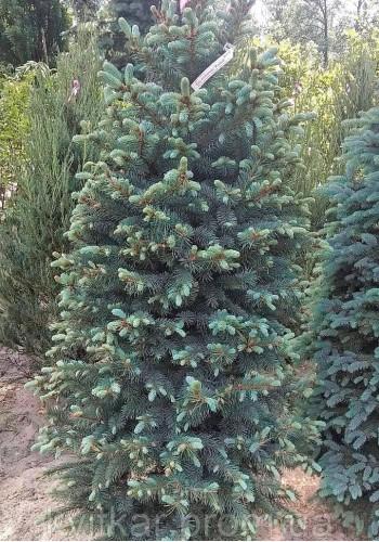 Ель Колючая Kaibab Picea pungens Glauca Kaibab Ком h-200