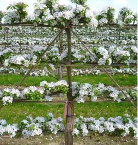 Яблоня Джонаголд на шпалере Malus SPALL С20L 1,5м/1,6м