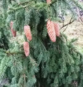 Ель европейская Акрокона Picea abies Acrocona С90L h1,25-1,5м
