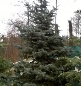 Ель Глаука Коника Picea glauca Conica h-175-200 C-70L