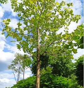 Платан западный Platanus acerifolia