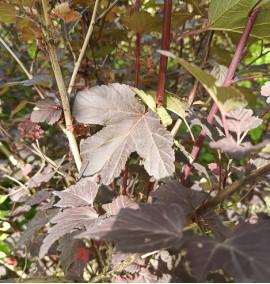 Пузыреплодник калинолистный Physocarpus opulifolius 'Diabolo'