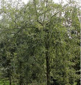 Груша иволистная Пендула Pyrus salisifolia Pendula