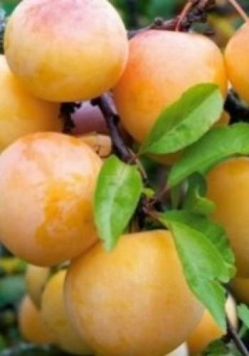 """Слива Хасанка Prunus """"Hasan"""""""