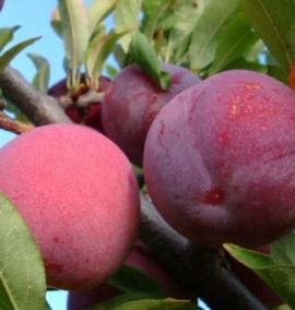 Слива  Голливуд  Prunus Holliwood