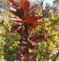 Слива растопыренная  Писарди Prunus cerasifera Pissardii