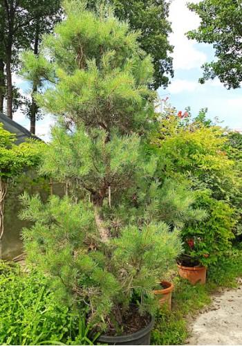 Сосна обыкновенная Pinus sylvestris BONSAI