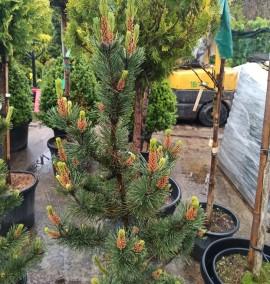 """Сосна горная """"Поль Малетер"""" Pinus mugo """"Pol Maleter"""""""