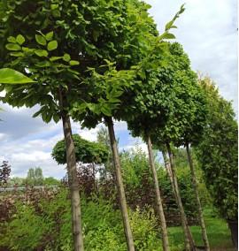 Граб обыкновенный Монументалис на штамбе Carpinus betulus Monumentalis